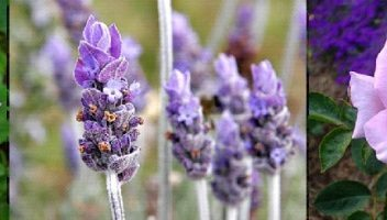 purple-flowers2