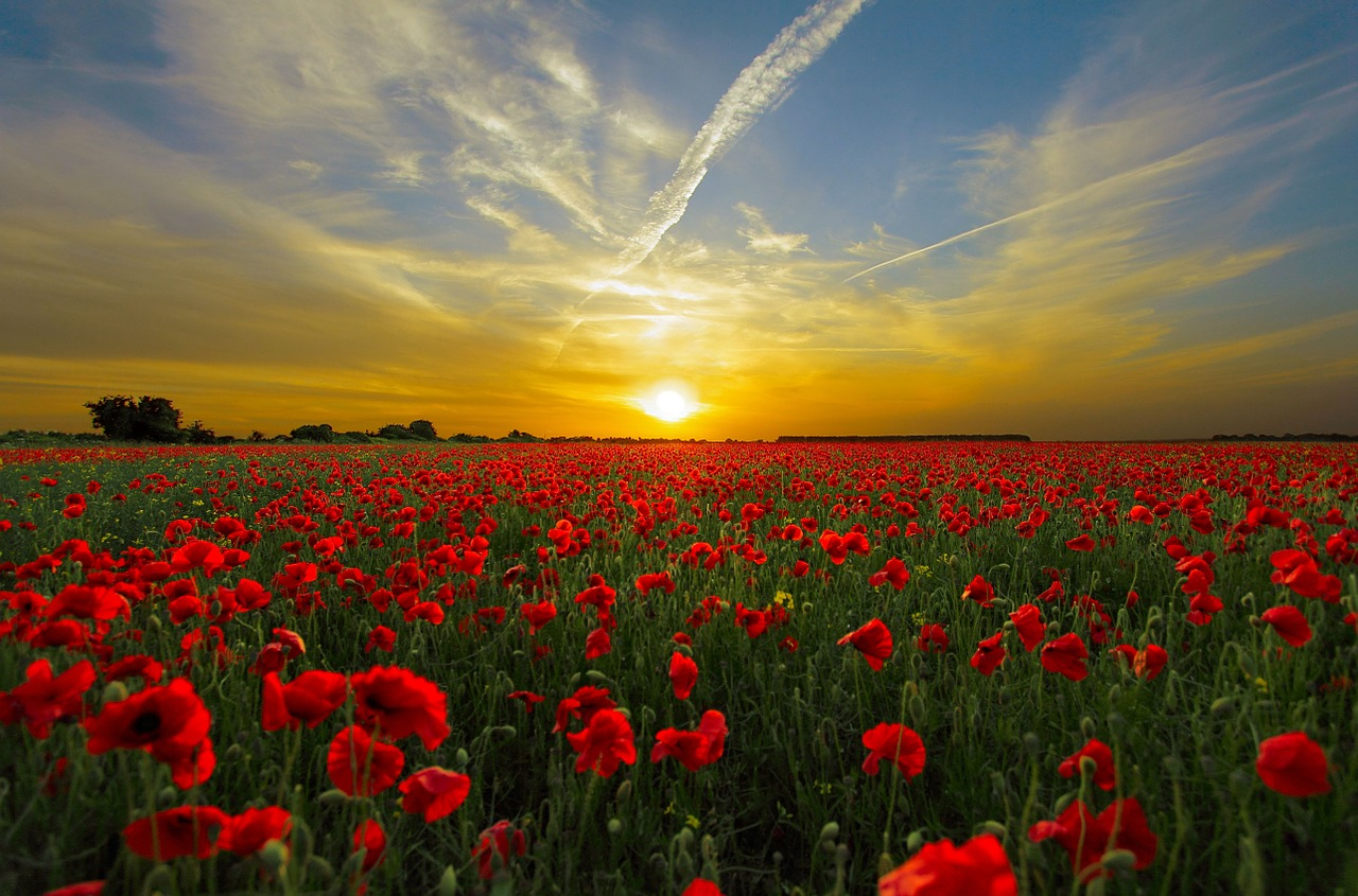 sunset over field of red flowers